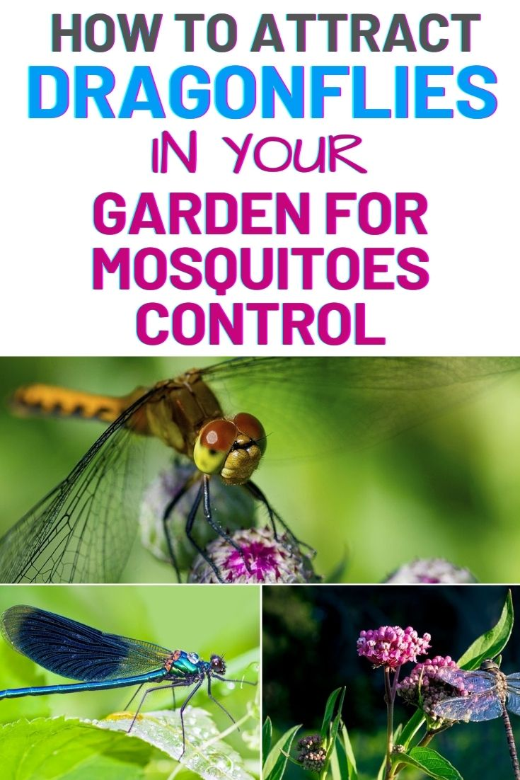 How To Attract Dragonflies In Your Garden For Mosquitoes Control