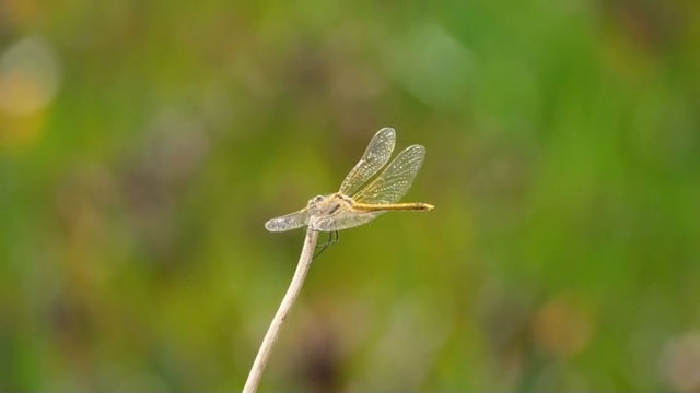 dragonfly on bamboo stick