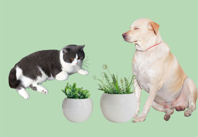 succulent toxic for cats and dogs