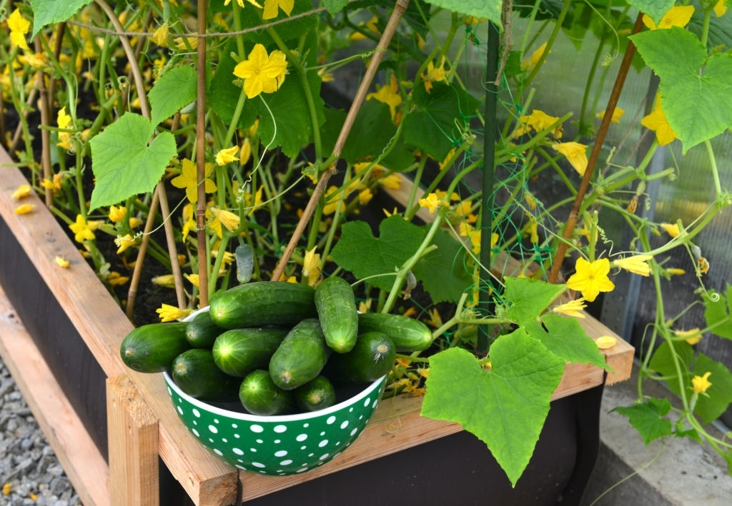 grow cucumbers in containers