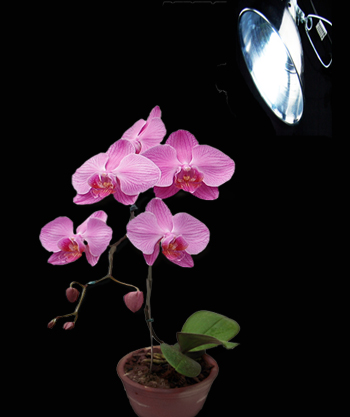orchid with light