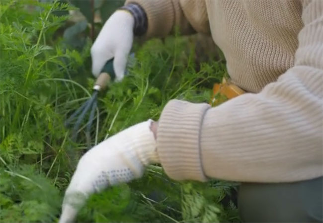 remove weed by hand