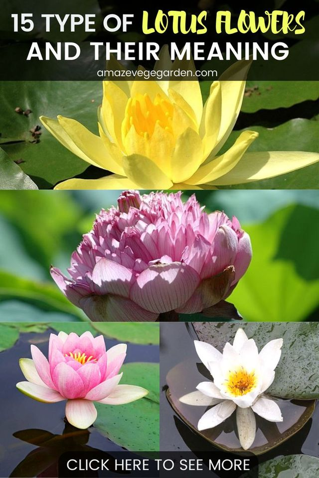 15 Types of Lotus Flowers and Their Meaning