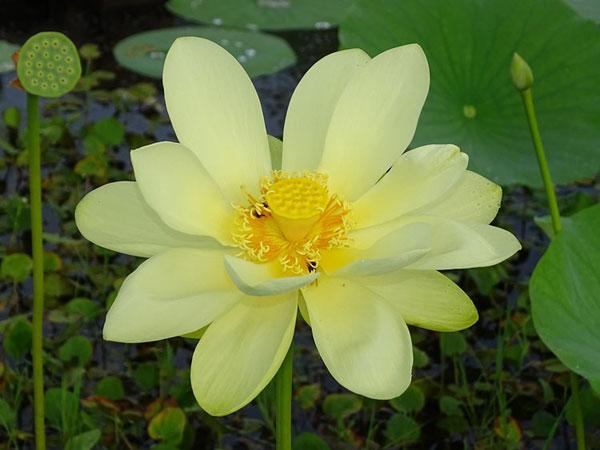 America Lotus