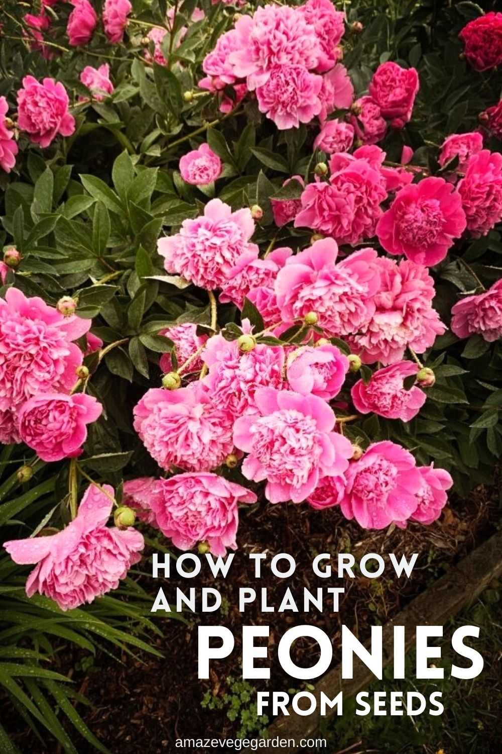 How To Grow and Plant Peonies From Seeds