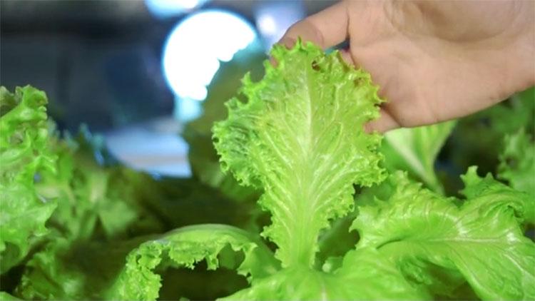 grow lettuce indoor
