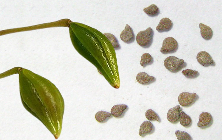 impatiens seeds and pods