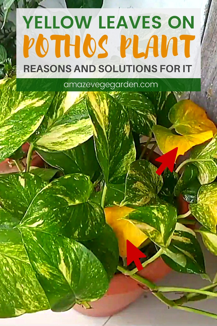 Yellow Leaves on Pothos – Reasons and Solutions For It