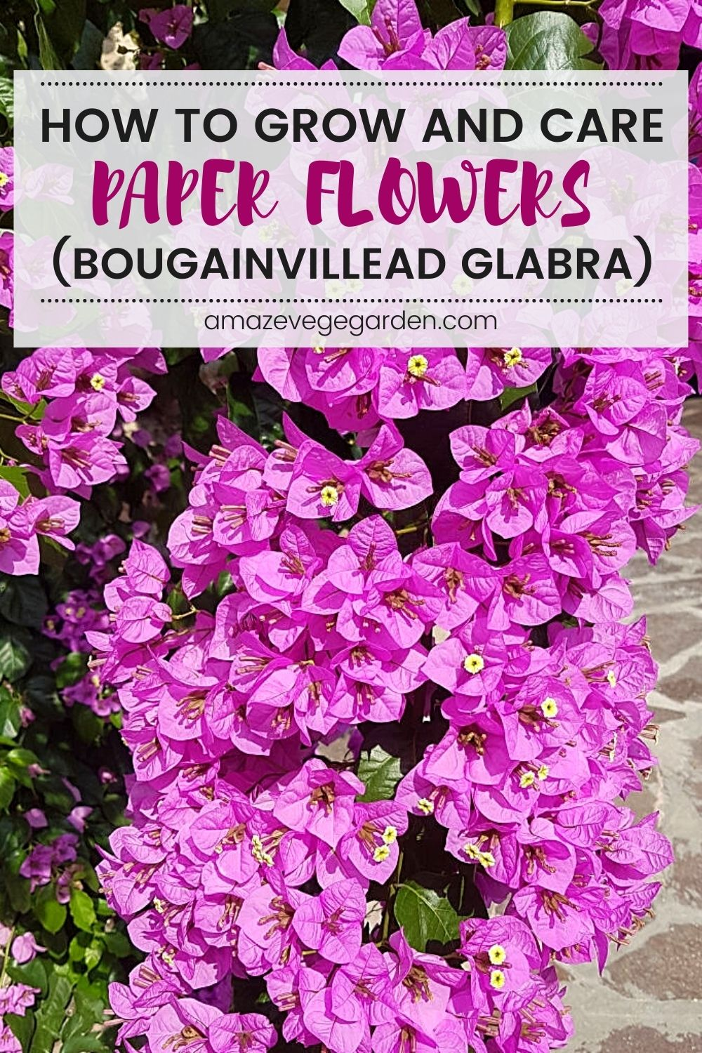 How To Grow and Take Care of Paper Flowers Bougainvillea Glabra