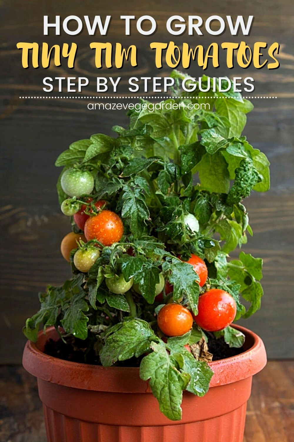 how to grow tiny tim tomatoes