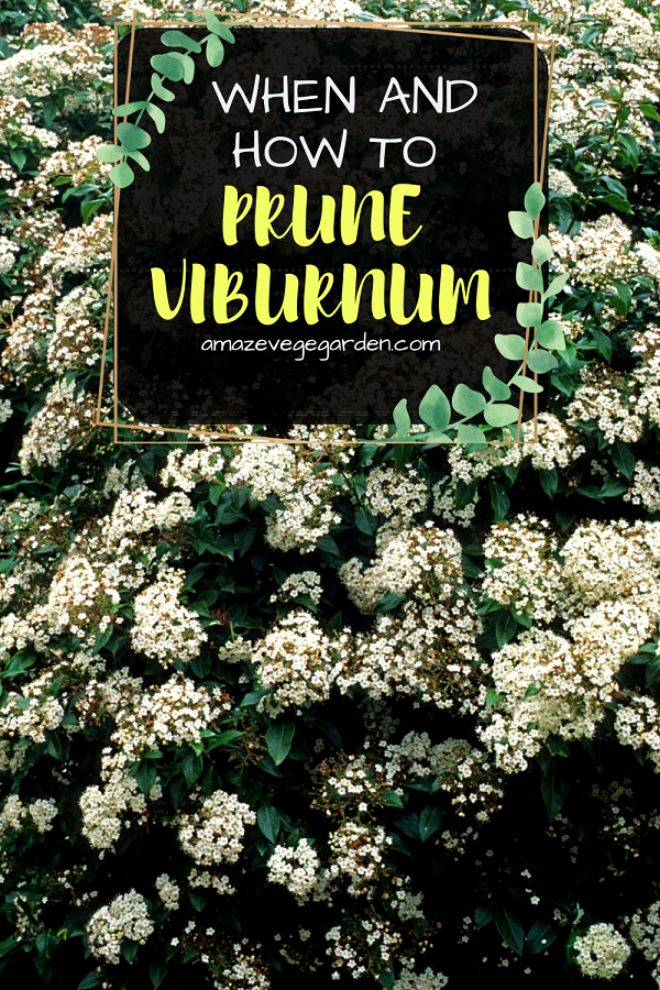 when and how to prune virburnum