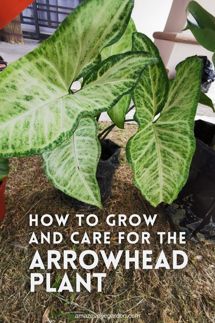 How to Grow and Care for the Arrowhead Plant