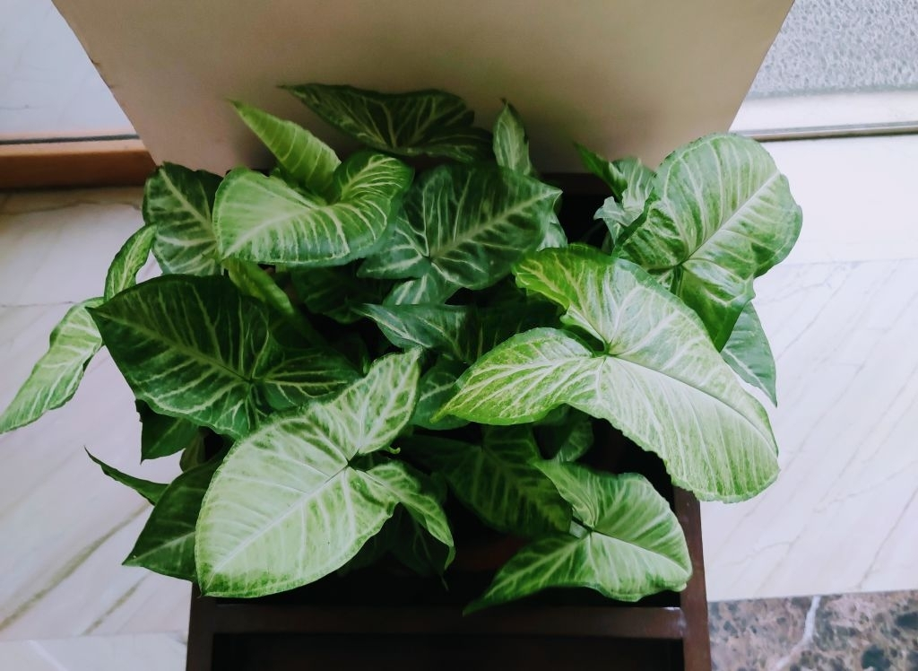 How Should Arrowhead Plants Be Cared for